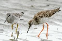 アカアシシギ28cmとキアシシギ25cm(幼鳥)