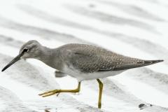キアシシギ 全長25cm(幼鳥)