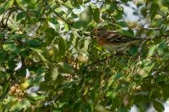 アトリ 冬鳥 全長16cm