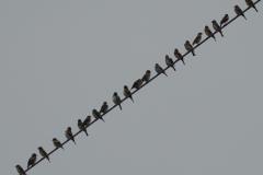 アトリ 冬鳥 全長16cm 大群