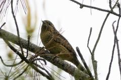 アリスイ 全長18cm 漂鳥