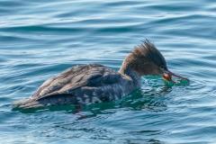 ウミアイサ 冬鳥 全長55cm