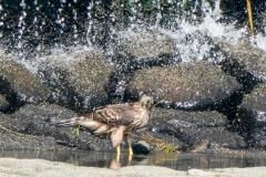 オオタカ 留鳥 全長オス50cm、メス59cm