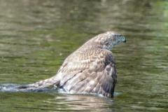 オオタカ 留鳥 全長オス50cm メス59cm
