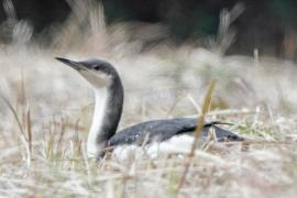 オオハム 冬鳥 冬羽 全長72cm