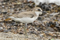 メダイチドリ 全長22~25cm 少ない旅鳥