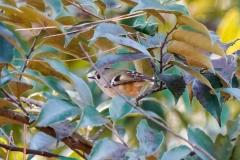 キクイタダキ 留鳥・漂鳥 全長10cm