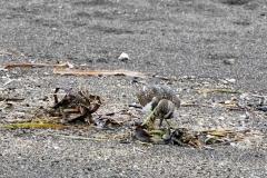 キョウジョシギ 全長22cm