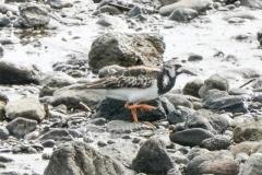 キョウジョシギ 全長22cm 旅鳥
