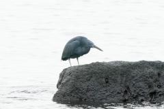 クロサギ 留鳥 全長62cm