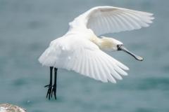 クロツラヘラサギ 冬鳥 全長77cm  2020/04/10
