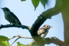 コサメビタキ(親・幼鳥)