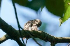 コサメビタキ(幼鳥)