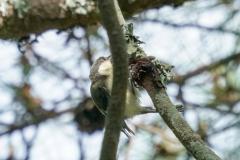 シジュウカラ全長15cm(幼鳥)