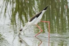 セイタカシギ 旅鳥・留鳥 全長37cm