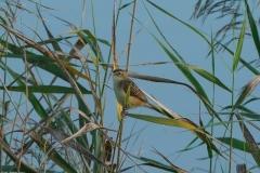 セッカ 全長13cm 留鳥・漂鳥
