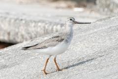 ソリハシシギ 旅鳥 全長23cm