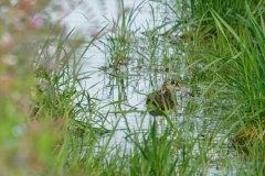 タマシギ 留鳥・漂鳥 全長24cm