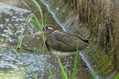 タマシギ 留鳥・漂鳥 全長24cm メス