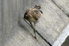 タマシギ 留鳥・漂鳥 全長24cm 幼鳥