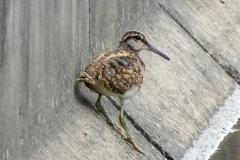 タタマシギ 留鳥・漂鳥 全長24cm 幼鳥