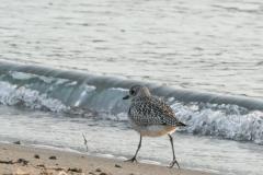 ダイゼン 冬鳥 全長29cm 冬羽