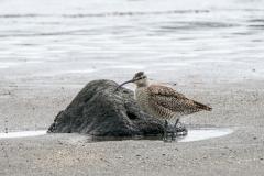 チュウシャクシギ 全長42cm 旅鳥 2020/04/20