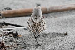 トウネン 旅鳥 全長15cm