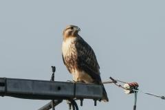 ノスリ 留鳥・漂鳥 全長オス52cm、メス57cm
