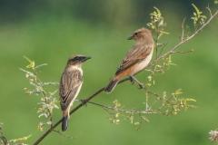 ノビタキ 夏鳥 全長13cm1