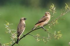 ノビタキ 夏鳥 全長13cm