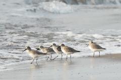 ハマシギ 旅鳥・冬鳥 全長21cm