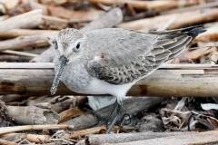 ハマシギ 旅鳥・冬鳥 全長21cm 冬羽