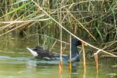 バン 留鳥 全長32cm