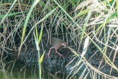 ヒクイナ 夏鳥 全長23cm