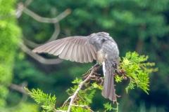 ヒヨドリ 留鳥・漂鳥 全長28cm