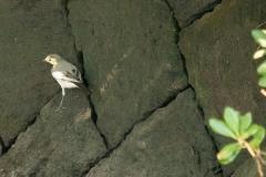 ホオジロハクセキレイ