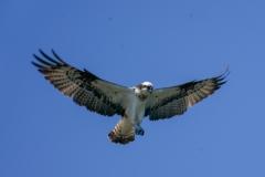 ミサゴの飛行