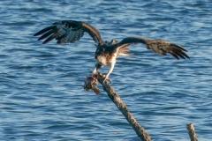 ミサゴ 留鳥