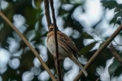 ミヤマホウジロ 冬鳥 全長16cm