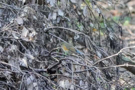 ルリビタキ オス 漂鳥 全長14cm