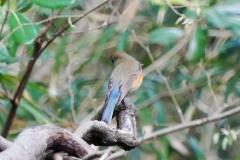 ルリビタキ(オス)漂鳥 全長14cm
